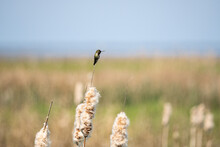 A Tiny Hummingbird Resting On The Tip Of The Fluffy Cattail Grass In A Open Filed In The Marshland