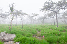 Krachiew Pa Hin Ngam National Park Flower Field On A Foggy Day At Chaiyaphum Thailand