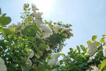The Blue Sky Of May, The White Rose Shining By The Sun.