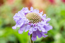 Scabiosa Columbaria (scabious) 'Misty Butterflies' A Summer Flowering Plant With A Lilac Purple Summertime Flower Commonly Known As Pincushion, Stock Photo Image