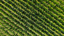 Corn Field Of Green Corn Stalks And Tassels, Aerial Drone Photo Above Corn Plants. High Quality Photo