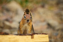 Portrait Of The Golden-mantled Ground Squirrel Sitting On The Wooden Log. Low Depth Of Field, Soft Focus.