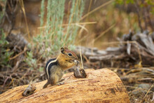 Golden-mantled Ground Squirrel Eating When Sitting On The Wooden Log.