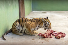 Tiger Eating Meat In Its Cage