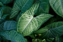 Green Cabbage In The Garden