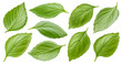 Basil leaves isolated on white background with clipping path