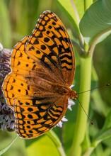 Silver Bordered Fritillary Butterfly, Richard M Nixon County Park, York County, Pennsylvania, USA