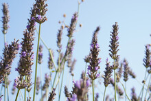 Closeup Of English Lavender In A Field Under The Sunlight And A Blue Sky