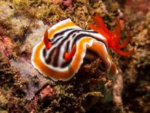 Bright Yellow And Orange Magnificent Chromodoris Nudibranch  (Chromodoris Magnifica), A Sea Slug, In Tropical Coral Near Anilao, Batangas, Philippines. Underwater Photography And Marine Life.