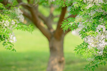 Flowering Chinaberry Tree Natural Floral Background