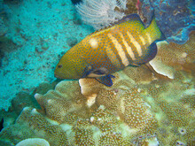 Peacock Grouper (Cephalopholis Argus) In The Filipino Sea 15.11.2012