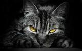 Fototapeta Zwierzęta - kot drapieżnik tapeta zwierzę kocur kocie oczy łapki futro natura przyroda