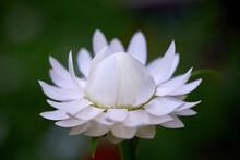 White Strawflower Or Golden Everlasting (Xerochrysum Bracteatum)