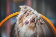 Close-up Portrait Of A Cute Female Marbled Australian Shepherd Dog Peeking Out Of A Yellow Metal Pipe At The Playground Against The Backdrop Of A Colorful Cityscape