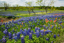 Texas Bluebonnet And Indian Paintbrush