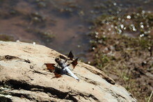 A Common Whitetail Dragonfly Relaxing On A Rock At Dogtown Lake, In The Kaibab National Forest, Williams, Coconino County, Arizona.