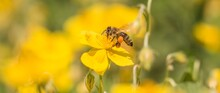Honey Bee Garden Flight Pollinating Flower And Collecting Pollen. Closeup Of Insect In Its Ecosystem Environment. Animal Is Flying To Flowers Busy Working Collect Nectar. Important Species Protection