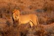 Leinwandbild Motiv Big male African lion (Panthera leo), Kalahari desert, South Africa