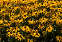 Rudbeckia Hirta, Commonly Called Black-eyed Susan Growing Near A Water Fountain Along With Delicate White Flower Backdrop
