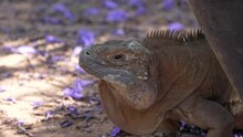 This Video Shows A Wild Jamaican Iguana (Cyclura Collei) Staring Off In The Distance.