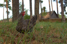 A Chicken While Searching For Food In The Tall Grass. Village Houses Are Visible In The Background.