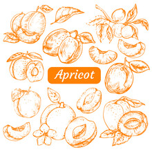 Hand Drawn Apricot On White Background. Isolated Vector Set Of Apricot, Leaves And Apricot Branches. Outlines Of Apricot In Sketch And Vintage Style.