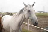 Fototapeta Zwierzęta - Koń biały portret