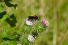 Flowering Lesser Burdock (Arctium Minus), Family Asteraceae And A Common Carder Bee (Bombus Pascuorum),  Family Apidae. Summer, August, Netherlands.