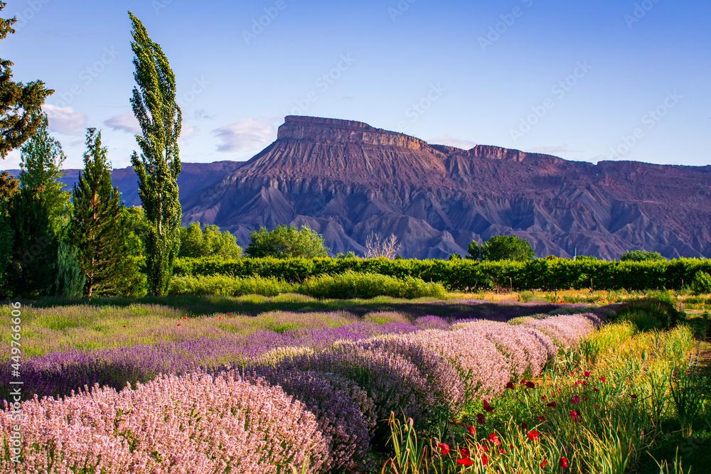 lavender fields in Palisade