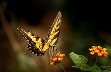 Male Eastern Black Swallowtail Butterfly On A Red And Yellow Lantana Flower