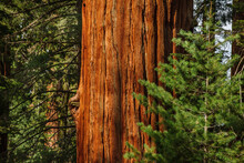Sequoia Tree Forest In California