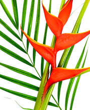 Close-up Of Heliconia Flower