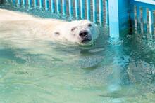 Polar Bear Swims In Pool At Aviary Zoo. Endangered Wildlife.