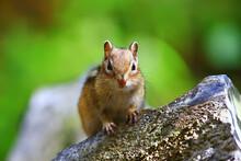 Chipmunk Animal In The Wild Little Cute Squirrel