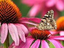Distelfalter - Vanessa Cardui Auf Echinacea Purpurea