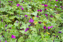 Malva Sylvestris, Common Mallow Agricultural Field, Purple Flowers Growing In Summer Outdoors.