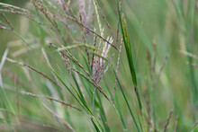 Grass Seed Plumes Background
