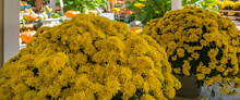Bright Yellow Mums From Local Farmers Market Provide Background With Copy Space.