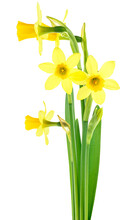 Miniature Daffodils. Bouquet Of Beautiful Fresh Daffodils Flowers Isolated On A White Background.