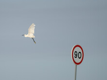 Little Egret Over Speed Limit, At Ribeira Das Enguias, Portugal