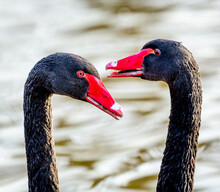 Closeup Of Two Black Swans In A Pond Under The Sunlight With A Blurry Background
