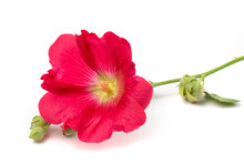 Red Mallow Flower Close-up, Isolated On A White Background