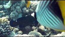 Peacock Grouper Cephalopholis Argus - Coral Fish - Red Sea 4K Video Clip