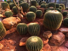 Cactus Growing In Red Sand At The Queen Sirikit Botanic Garden.