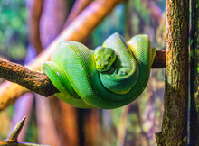 Green Snake In A Tree