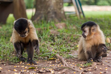 Two Brazilian Capuchin Monkeys (Sapajus) Picking Corn Seeds From The Ground In Bonito, State Of Mato Grosso Do Sul, Brazil