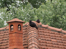 Black Domestic Pigeon Bird On A Roof By A Chimney