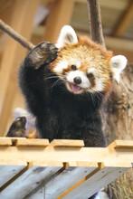 Cute Red Panda From Japan Zoo