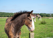 Close Up Of Clydesdale Horse Foal
