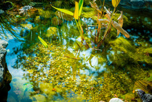 Natural Backyard Water Pond With Water Plants